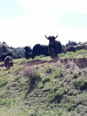 云南省迪庆藏族自治州维西傈僳族自治县放养牦牛肉酱 24个月以上