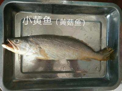 广东省广州市天河区小黄鱼 野生 0.5公斤以下