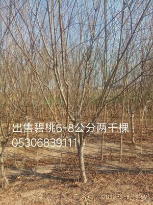 山东省菏泽市牡丹区绿叶碧桃
