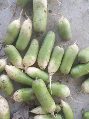 河南省开封市开封县白萝卜 1.5~2斤