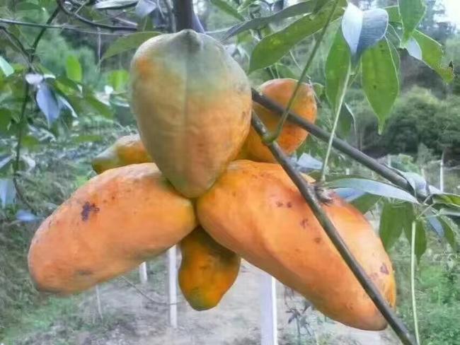 九月黄金蕉苗