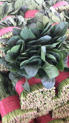 山东省泰安市新泰市大叶菠菜 20~25cm