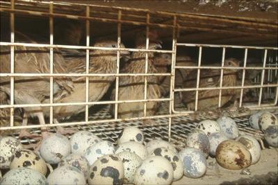 浙江省杭州市上城区土鹌鹑蛋 食用 箱装