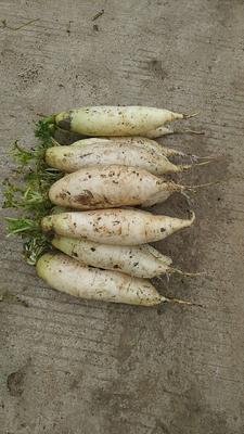 贵州省贵阳市乌当区白萝卜 1~1.5斤