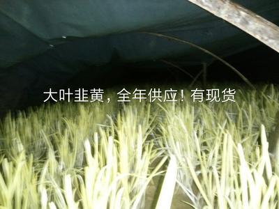 河北省衡水市故城县黄香韭王 头茬 50~60cm