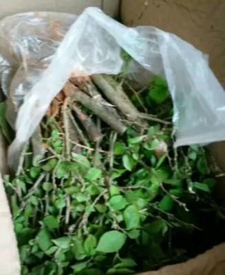广东省广州市荔湾区紫花三角梅 0.2~0.5米