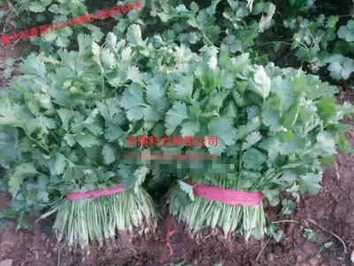 山东省济南市历城区香菜种子