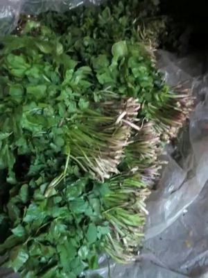 吉林省通化市集安市山芹菜 40cm以下