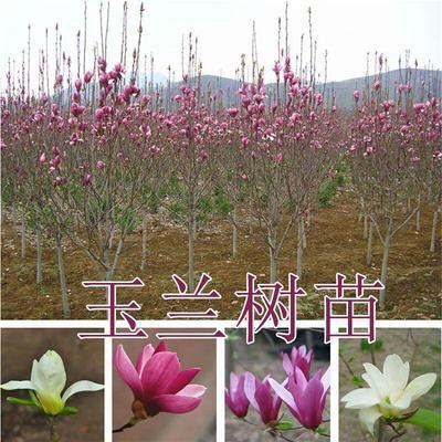 山东省临沂市平邑县各种玉兰品种