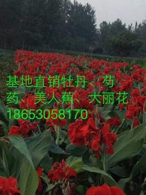 山东省菏泽市牡丹区大花美人蕉 2cm以下 0.5~1米