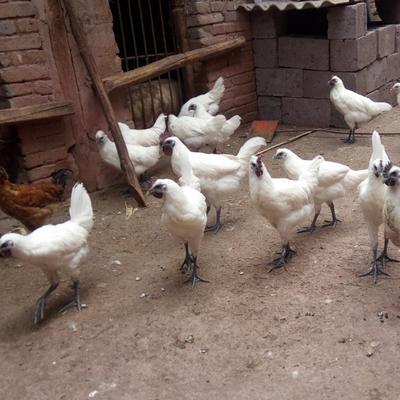 云南省大理白族自治州漾濞彝族自治县白羽乌鸡 3-4斤