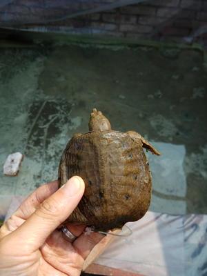 四川省乐山市市中区大口鲶鱼 人工养殖 1.5-2.5公斤