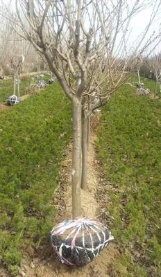 山东省泰安市岱岳区日本早樱 4~6公分 1.5~2米