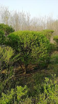 河南省新乡市原阳县小叶女贞造型树