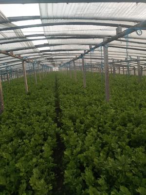 河南省新乡市延津县西芹 60cm以上 大棚种植 0.5斤以下