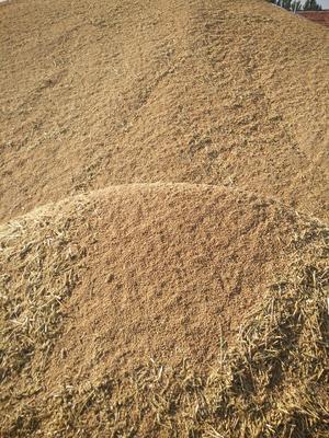 山东省滨州市滨城区优质麦