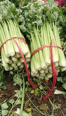 陕西省西安市高陵县法国皇后芹菜 60cm以上 大棚种植 0.5~1.0斤