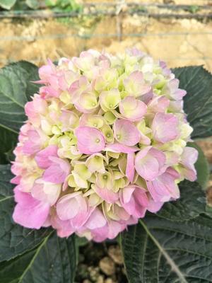 云南省昆明市呈贡区大八仙花