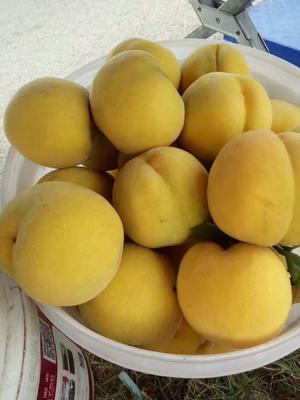 江苏省连云港市赣榆区黄金黄桃 60mm以上 4两以上