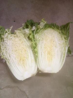 山东省青岛市平度市菊锦春白菜 3~6斤 毛菜