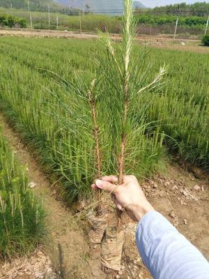广东省清远市连州市湿地松树苗
