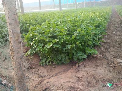 安徽省亳州市谯城区西芹 40cm以下 露天种植 0.5斤以下