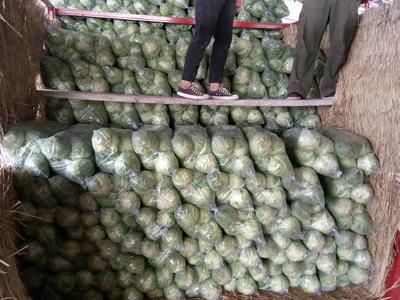 江苏省徐州市沛县卷心包菜 0.5~1.0斤