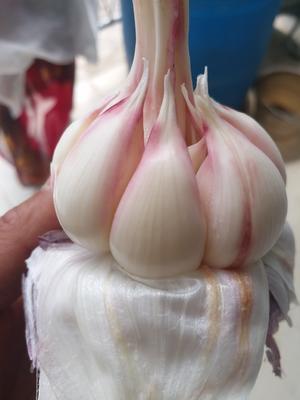 云南省大理白族自治州弥渡县杂交大蒜 混级统货 多瓣蒜