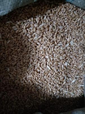 河南省洛阳市瀍河回族区普通小麦