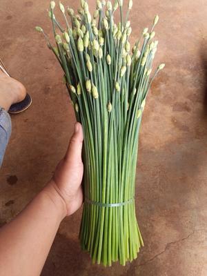 云南省红河哈尼族彝族自治州弥勒市韭苔 头茬 30~35cm
