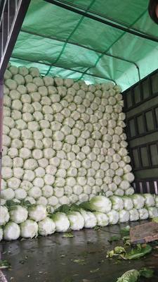 山东省临沂市兰陵县菊锦春白菜 3~6斤 毛菜