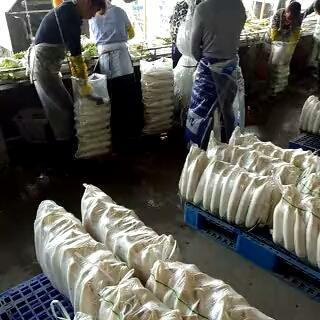 湖北省荆门市钟祥市白萝卜 1.5~2斤