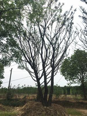 云南省昆明市嵩明县丛生朴树