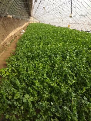 辽宁省铁岭市银州区西芹 40cm以下 大棚种植 0.5斤以下