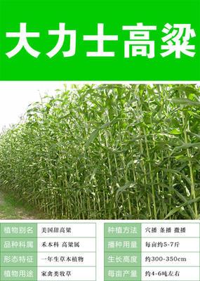 江苏省苏州市吴中区进口大力士高粱 种子