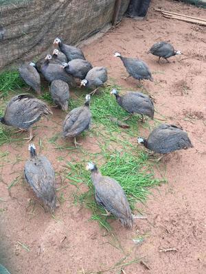 江西省吉安市泰和县灰色珍珠鸡 2-4斤