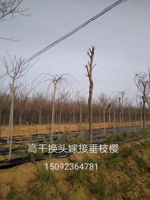 山东省青岛市黄岛区高干樱花 4公分以下 2~3米