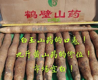 河南省鹤壁市淇滨区九斤黄山药 30~40cm