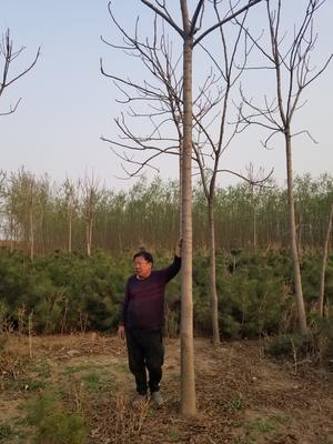 河北省石家庄市栾城区千头椿树