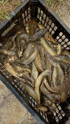广西壮族自治区钦州市钦南区胡子鲶 人工养殖 0.5龙8国际官网官方网站以下