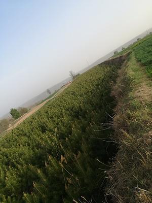 甘肃省庆阳市镇原县山地油松