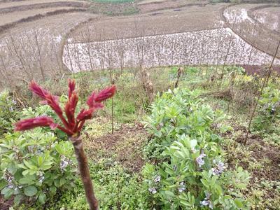 四川省达州市大竹县红油香椿