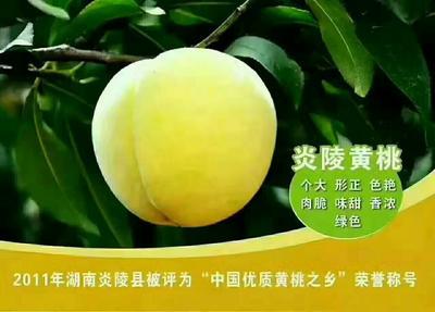湖南省郴州市桂东县炎陵黄桃 60mm以上 3 - 4两