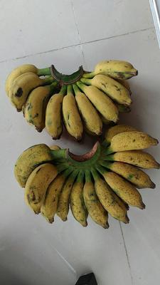 江苏省镇江市句容市米蕉 八成熟 40斤以下