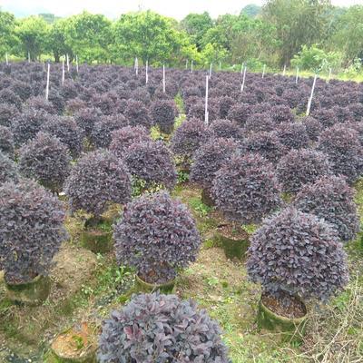 广西壮族自治区桂林市临桂县黑珍珠红继木