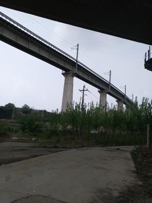 安徽省铜陵市铜官山区白玉簪藕带 50cm以上
