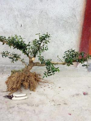 广西壮族自治区柳州市融安县金弹子 10~12公分