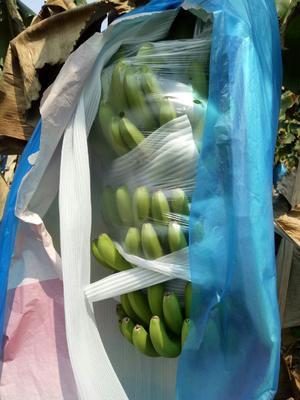 云南省西双版纳傣族自治州景洪市巴西香蕉 七成熟 40斤以下