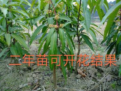 四季芒果苗