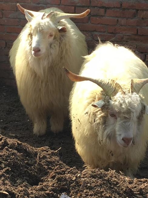 德绒山羊_绒山羊 50-80斤